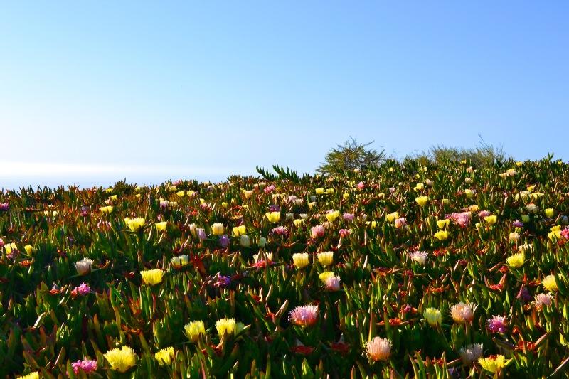 Mt. Solodad flowers