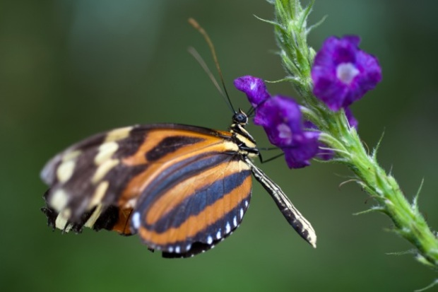 Beautiful butterfly in Costa Rica. Feeding from mother nature! Use her gifts my friends, try to avoid prescriptions for your health issues!