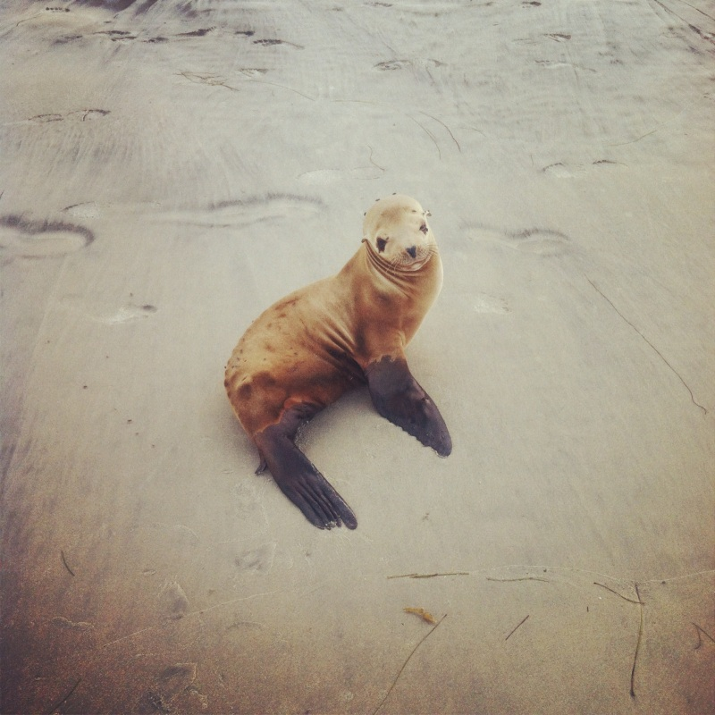 Blacks Beach Seal!
