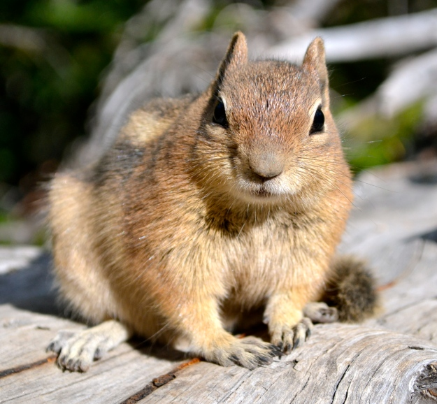These little chipmunks would come right up to us. No fear!